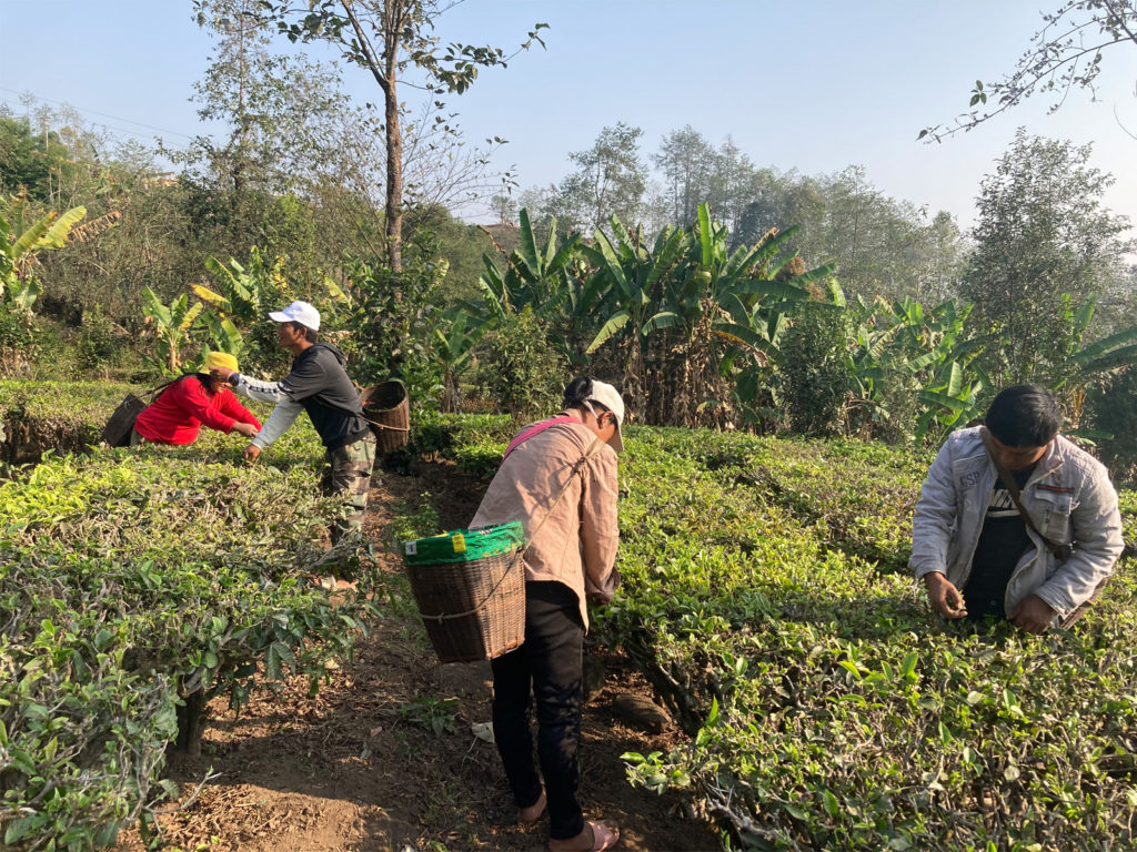 Photo of early tea harvest in Yunnan, China, 2021.
